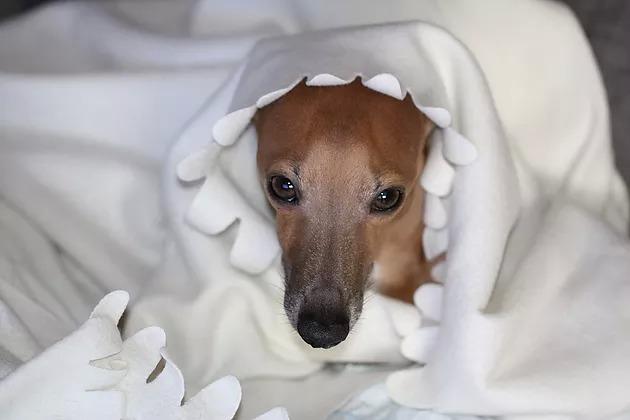 Pes pod deko